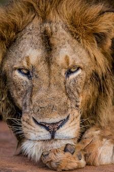 Porträt eines löwen uganda