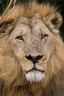 Porträt eines löwen
