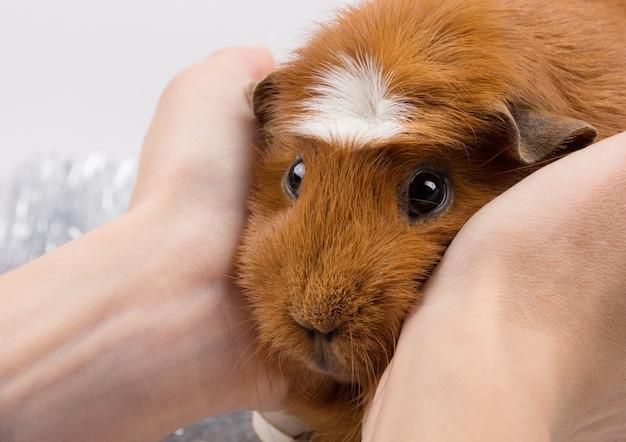 Porträt eines lustigen meerschweinchens in den menschlichen händen