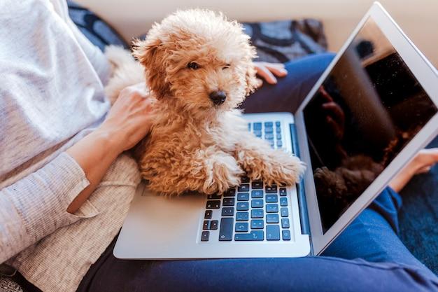 Porträt eines netten braunen zwergpudels mit seinem inhaber der jungen frau zu hause. laptop benutzen. tagsüber drinnen.