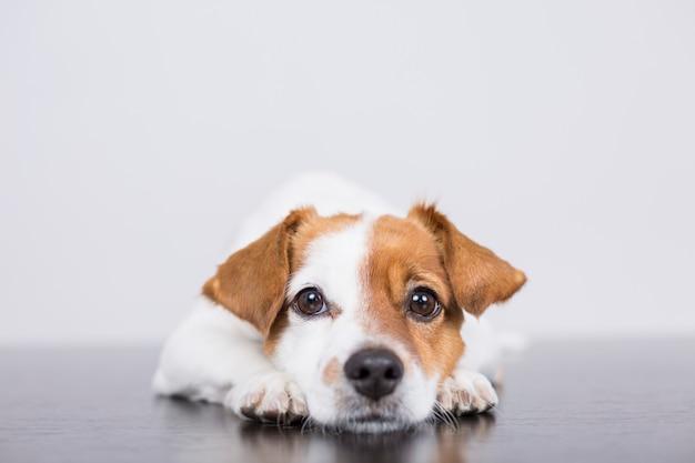 Porträt eines netten jungen kleinen hundes, der auf dem weißen holzfußboden liegt,