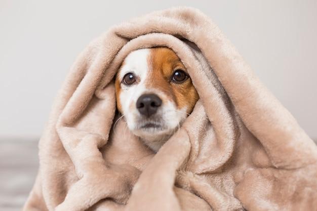 Porträt eines netten jungen kleinen hundes mit einem schal, der ihn bedeckt