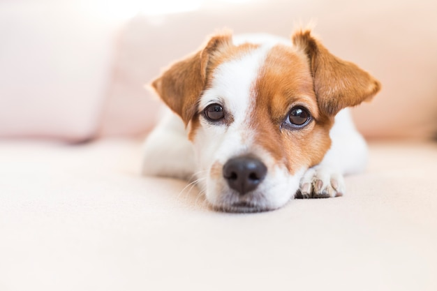 Porträt eines netten kleinen hundes, der auf dem sofa liegt