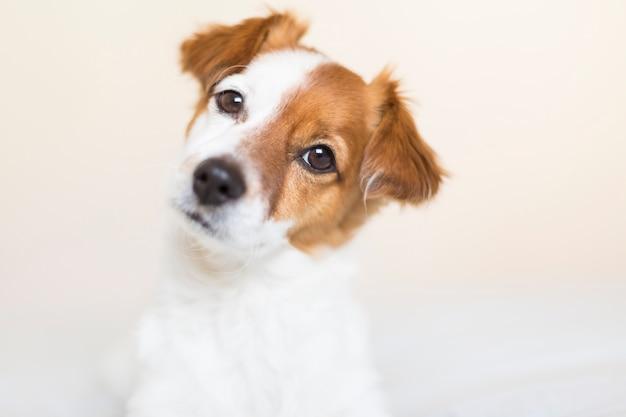 Porträt eines netten kleinen weißen und braunen hundes, der zuhause auf bett haustiere sitzt.
