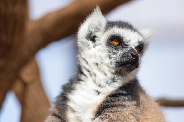 Porträt eines netten ringes band maki, lemur catta an.
