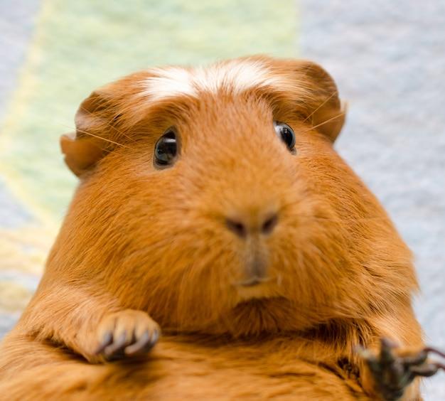Porträt eines niedlichen lustigen meerschweinchens (selektiver fokus auf den meerschweinchenaugen)