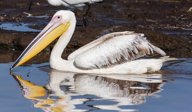 Porträt eines pelikans. nakuru, kenia