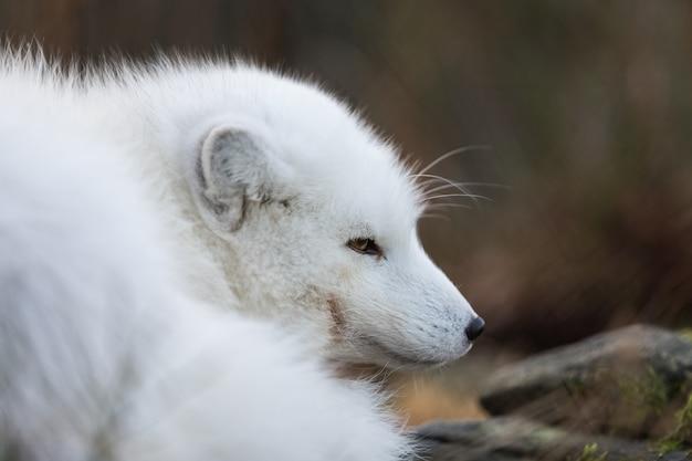 Porträt eines polarfuchses, vulpes lagopus, männlicher fuchs im weißen wintermantel, der auf dem boden ruht.