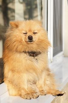 Porträt eines pommerschen hundes mit gelbem fell