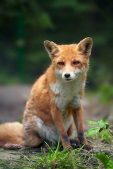 Porträt eines rotfuchses (vulpes vulpes) in der natürlichen umgebung