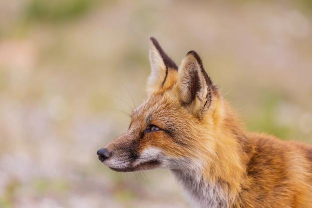 Porträt eines rotfuchses (vulpes vulpes)