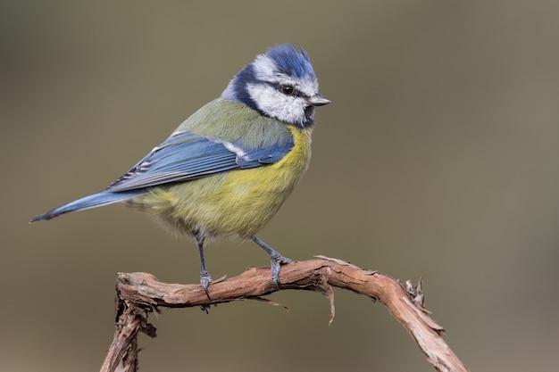 Porträt eines schönen kanarienvogels