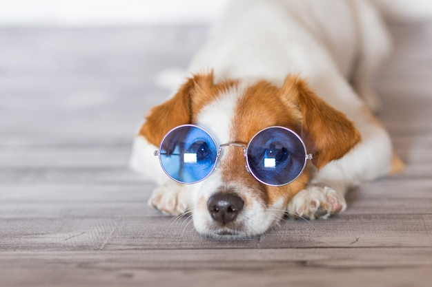 Porträt eines schönen kleinen hundes, der auf dem boden, blaue sonnenbrille tragend liegt