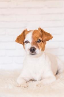 Porträt eines schönen kleinen hundes, der auf einer weißen decke liegt