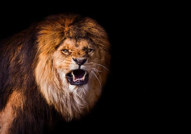Porträt eines schönen löwen