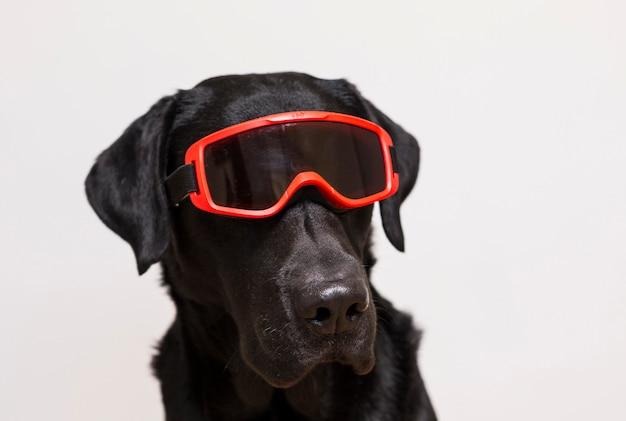 Porträt eines schönen schwarzen labradors, das rote schneeschutzbrillen trägt