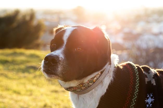 Porträt eines schönen schwarzweiss-hundes im park mit sonnenuntergang