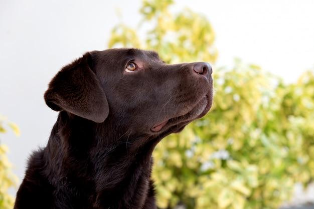 Porträt eines schwarzen golden retriever-hundes