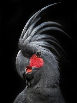 Porträt eines schwarzen kakadus