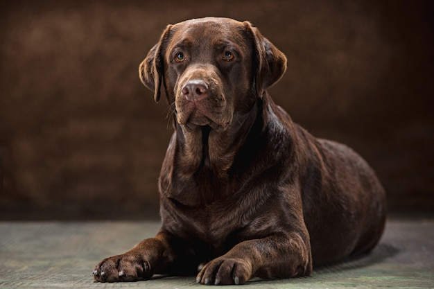 Porträt eines schwarzen labrador-hundes vor einem dunklen hintergrund.