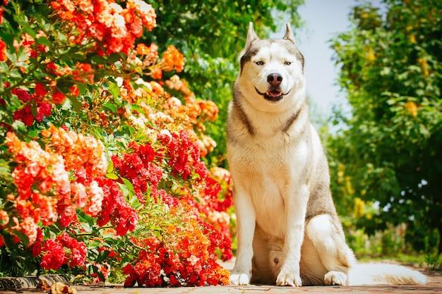 Porträt eines siberian husky. der hund sitzt in der nähe von blühenden rosen. nordische hunde im sommer.
