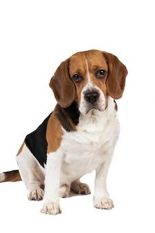 Porträt eines sitzenden beagle-hundes lokalisiert auf weiß