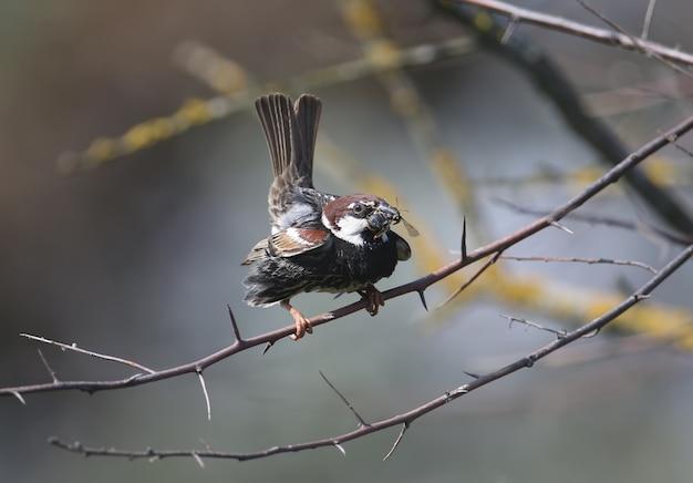 Porträt eines spanischen spatzen- oder weidensperlings (passer hispaniolensis), der auf einem ast sitzt und dem weibchen gefangene beute zeigt.