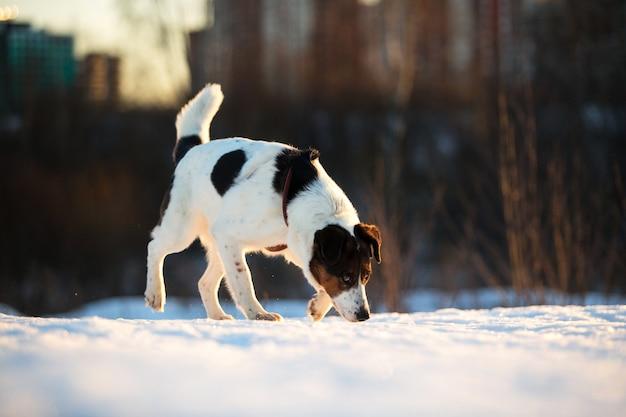 Porträt eines süßen mischlingshundes, der im schnee auf dem feld läuft