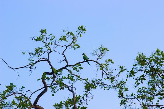 Porträt eines süßen rosenringsittichs oder auch bekannt als der grüne papagei, der auf dem baum sitzt