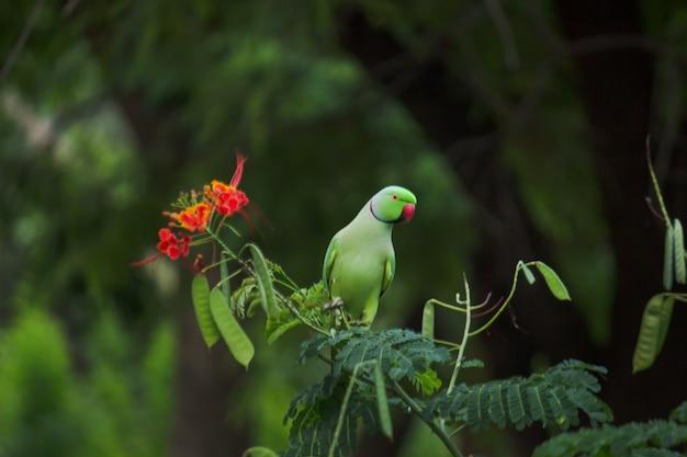 Porträt eines süßen rosenringsittichs oder auch bekannt als der grüne papagei, der oben auf dem baum sitzt