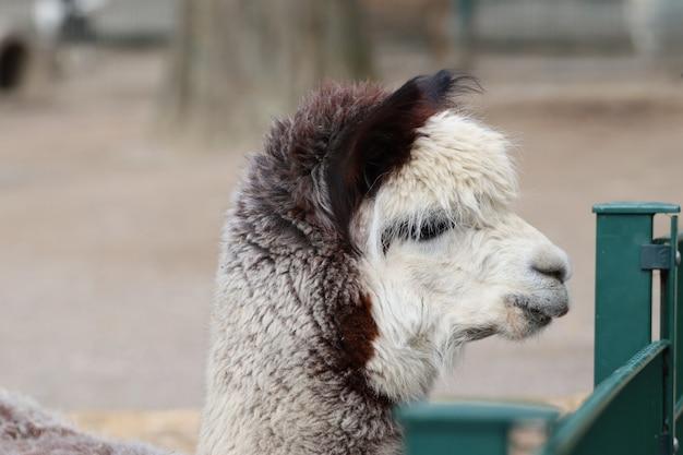 Porträt eines süßen weißen lamas im zoo