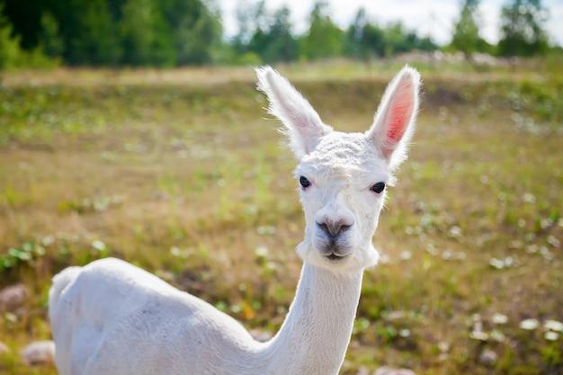 Porträt eines weißen lamas (alpaka)