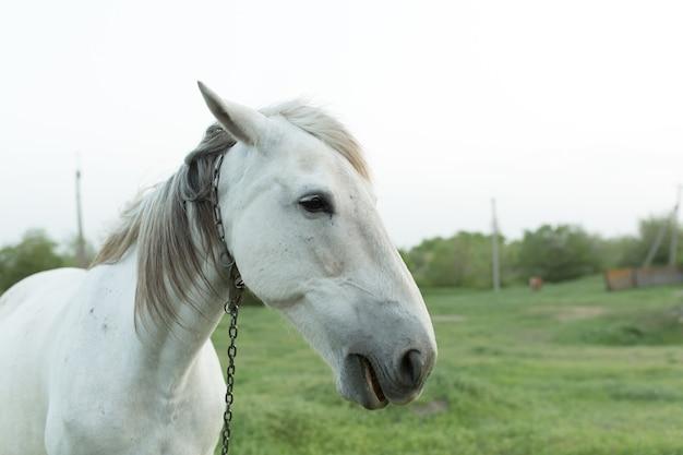 Porträt eines weißen pferdes auf einem bauernhof mit einem kettenhalsband.