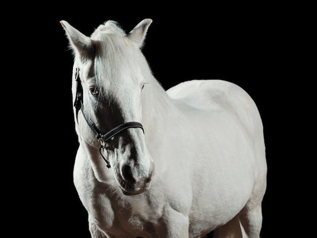 Porträt eines weißen pferdes, lokalisiert auf schwarzer wand