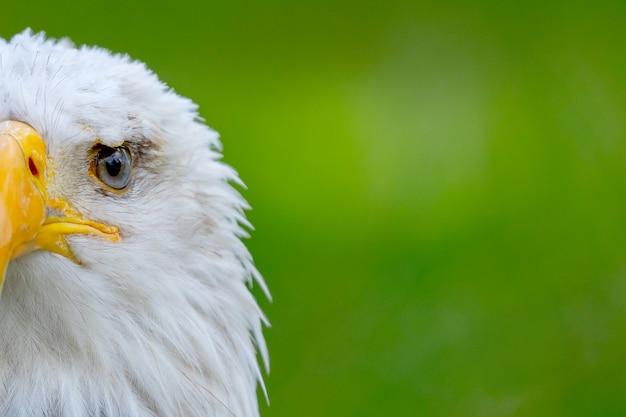 Porträt eines weißkopfseeadlers in der natur