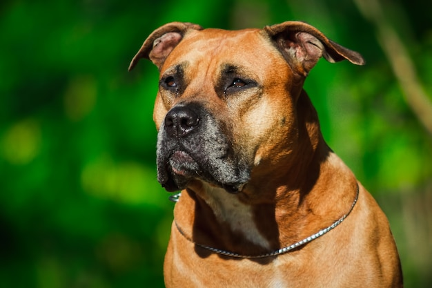 Porträt eines welpen auf der naturnahaufnahme. pitbull. 4 monate alt.