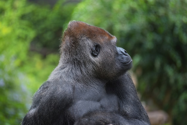 Porträt eines westtiefland-silberrückengorillas