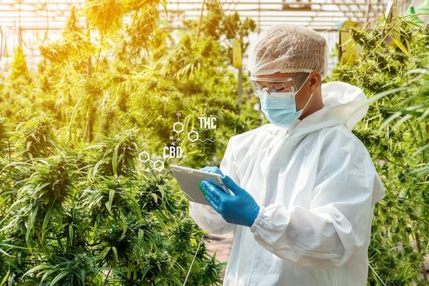 Porträt eines wissenschaftlers mit maske, brille und handschuhen. überprüfung der analyse und der ergebnisse mit tablet für medizinische marihuana-cannabisblüten in einem gewächshaus.