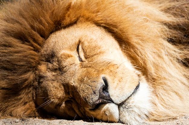 Porträt eines wunderschön erwachsenen löwen mit einem schicken mähnenschlaf