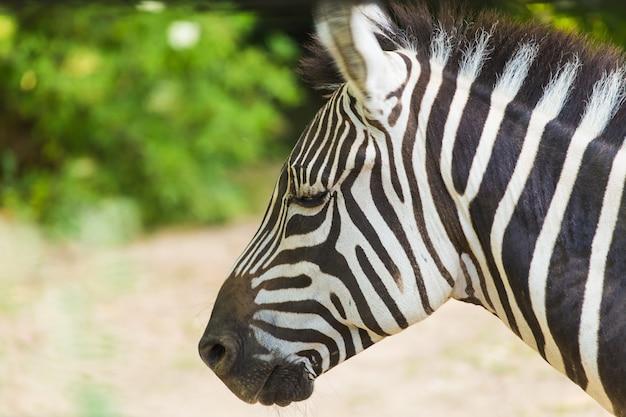 Porträt eines zebras mit dem kopf zur seite