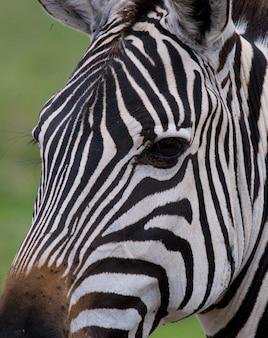 Porträt eines zebras. nahansicht. kenia. tansania. nationalpark. serengeti. maasai mara.