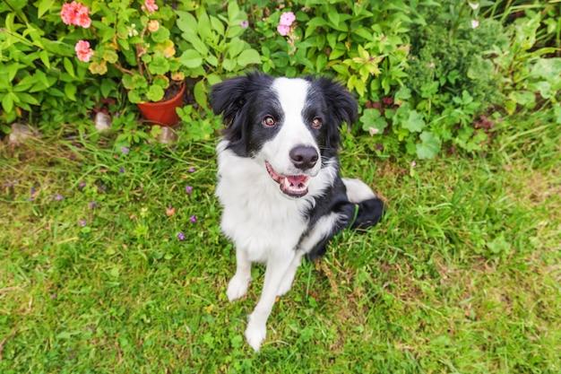 Porträt im freien des netten lächelnden welpenborder collie, der auf gras sitzt