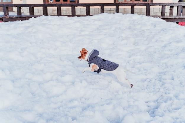 Porträt im freien eines schönen jack russell-hundes, der am schnee spielt und läuft. wintersaison