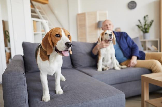 Porträt in voller länge des niedlichen beagle-hundes, der auf couch mit älterem mann steht