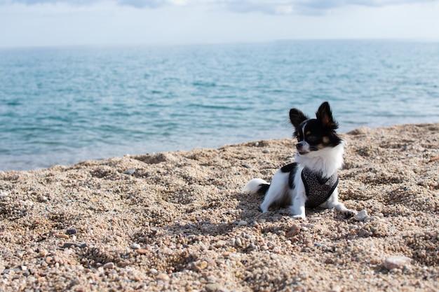 Porträt kleiner chihuahua-hund, der in der sommersaison am strandufer ruht