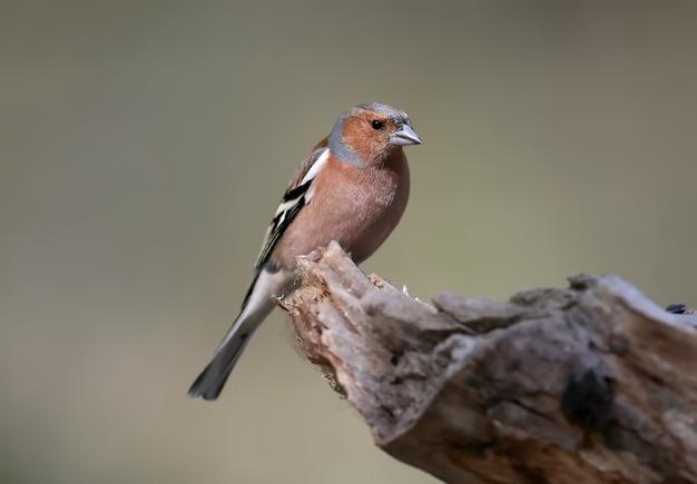 Porträt-männchen des gemeinsamen buchfinken (fringilla coelebs) hautnah