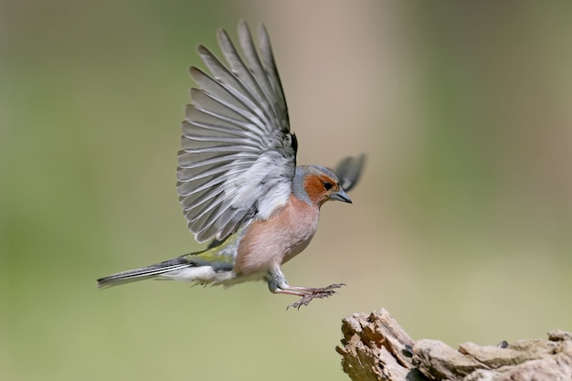 Porträt männlich von the common buchfink (fringilla coelebs) landung auf dem ast hautnah.