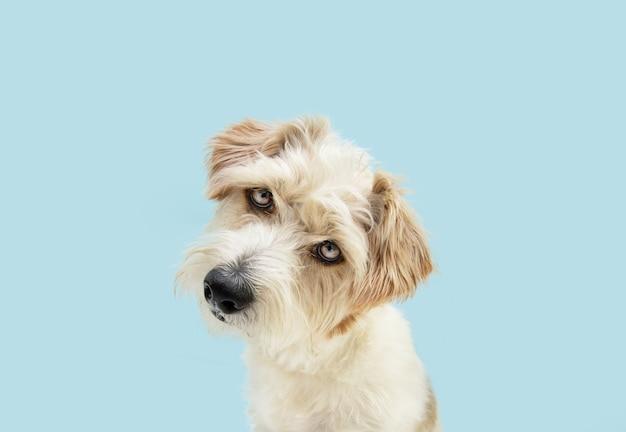 Porträt neugieriger jack-russell-hund, der die kopfseite neigt. getrennt auf blauer farbiger oberfläche. hund denkendes konzept