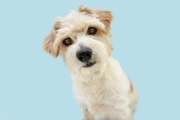 Porträt neugieriger jack-russell-hund, der die kopfseite neigt, isoliert auf blauer pastelloberfläche?