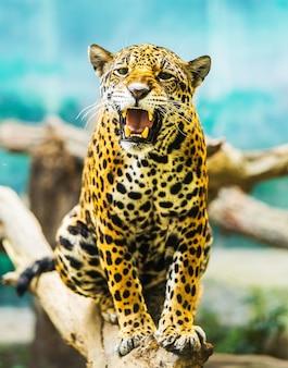 Porträt von amur tigers